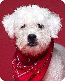 Bichon Frise Mix Dog for adoption in Pt. Richmond, California - SAMARA