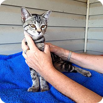 Domestic Shorthair Cat for adoption in Pulaski, Tennessee - Capt Crunch