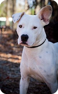 American Bulldog/Labrador Retriever Mix Dog for adoption in Meridian, Mississippi - Kendyl