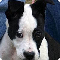 Adopt A Pet :: Jewel American Bulldogie Mix Puppy - Rowayton, CT