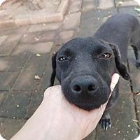 Adopt A Pet :: 'CELINE' - Agoura Hills, CA