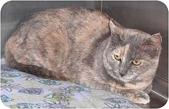 Domestic Shorthair Cat for adoption in North Highlands, California - Lilli