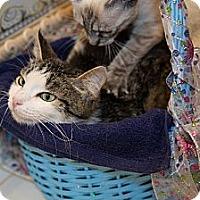 Adopt A Pet :: Lacey Rose - Poway, CA