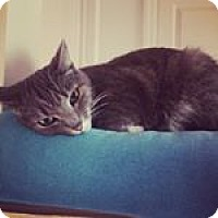 Domestic Mediumhair Cat for adoption in Baltimore, Maryland - Lily - COURTESY POST