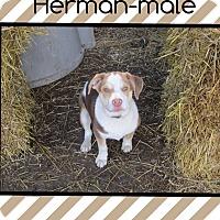 Adopt A Pet :: Herman (pom-ft) - Windham, NH