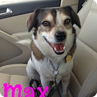 Adopt A Pet :: Max Beagle (Courtesy Listing) - Scottsdale, AZ