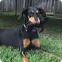 Adopt A Pet :: Shelley - Houston, TX
