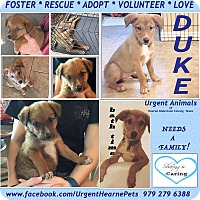 Adopt A Pet :: Duke - Hearne, TX