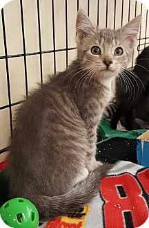 Domestic Shorthair Cat for adoption in Cumberland and Baltimore, Maryland - Jetty
