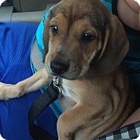 Adopt A Pet :: Rescue Thor - Batavia, NY