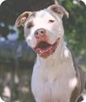 Pit Bull Terrier Mix Dog for adoption in Indianapolis, Indiana - Teek
