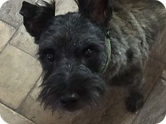 Cairn Terrier Dog for adoption in Durham, North Carolina - Neo