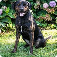 Labrador Retriever Mix Dog for adoption in Enfield, Connecticut - Raimy