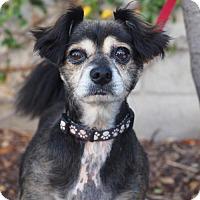 Cavalier King Charles Spaniel Mix Dog for adoption in Palo Alto, California - Canoli