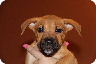 Boxer/Rhodesian Ridgeback Mix Puppy for adoption in Phoenix, Arizona - Northstar