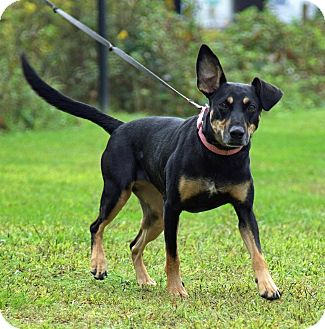 Doberman Pinscher Mix Dog for adoption in Breinigsville, Pennsylvania - Becca Paws