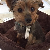 Yorkie, Yorkshire Terrier Mix Dog for adoption in Doylestown, Pennsylvania - Sasha