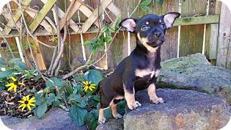 Chihuahua Mix Puppy for adoption in Santa Fe, Texas - Olivia