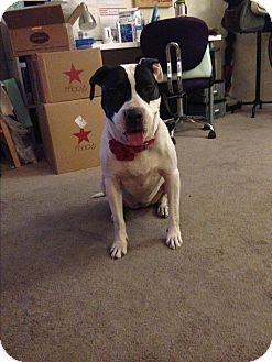 Labrador Retriever/Pointer Mix Dog for adoption in Beverly Hills, California - Rachel