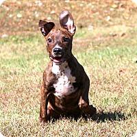 Shepherd (Unknown Type)/Doberman Pinscher Mix Puppy for adoption in Glastonbury, Connecticut - Callie