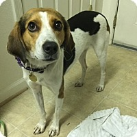 Beagle Mix Dog for adoption in Richmond, Virginia - Nimmy