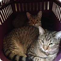 Domestic Shorthair Kitten for adoption in Alamo, California - Mimi and Baby