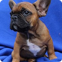 French Bulldog Puppy for adoption in Temecula, California - Cooper