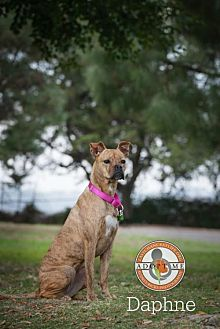 Boxer/Pit Bull Terrier Mix Dog for adoption in Oceanside, California - Daphne