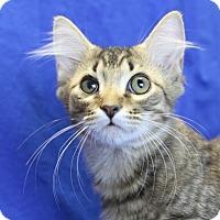 Maine Coon Kitten for adoption in Winston-Salem, North Carolina - Figaro