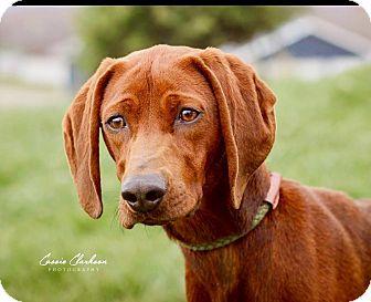 Labrador Retriever/Hound (Unknown Type) Mix Dog for adoption in Zanesville, Ohio - Stella - Urgent!