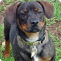Adopt A Pet :: Lola - Yorba Linda, CA