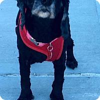 Adopt A Pet :: Pepa - Flushing, NY