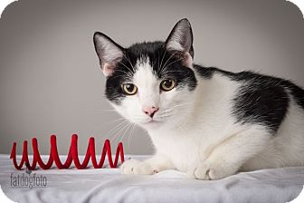Domestic Shorthair Kitten for adoption in Lambertville, New Jersey - Jack Jr.