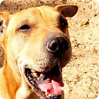 Adopt A Pet :: Ginger - San Antonio, TX