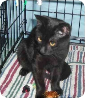 Domestic Shorthair Kitten for adoption in Little Falls, New Jersey - JACK (DS)