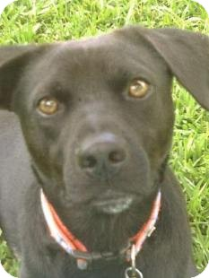 Labrador Retriever/Terrier (Unknown Type, Medium) Mix Dog for adoption in Miami, Florida - Drake