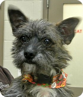 Cairn Terrier Mix Dog for adoption in white settlment, Texas - Toto