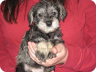 Schnauzer (Miniature) Puppy for adoption in Salem, New Hampshire - Marta