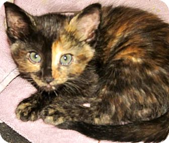 Domestic Mediumhair Kitten for adoption in Escondido, California - Dorothy