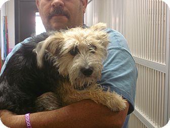 Yorkie, Yorkshire Terrier/Schnauzer (Miniature) Mix Dog for adoption in baltimore, Maryland - Bella