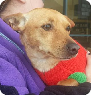 Beagle/Chihuahua Mix Dog for adoption in Porter Ranch, California - Peter Wabbit