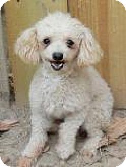 Poodle (Standard) Dog for adoption in Memphis, Tennessee - PeeWee