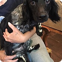 Adopt A Pet :: Marylou in CT - Manchester, CT