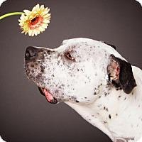 Adopt A Pet :: Chauncey - Aurora, CO