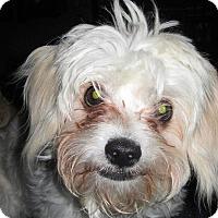 Adopt A Pet :: Tiny Tim ADOPTION PENDING - Manchester, CT