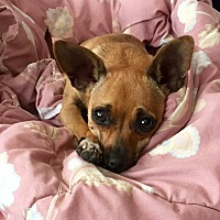 Adopt A Pet :: Coco - Walnut Creek, CA