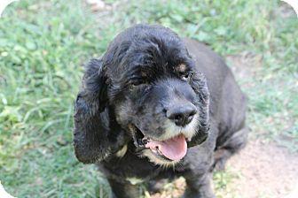 Cocker Spaniel Dog for adoption in Lodi, California - Finnegan