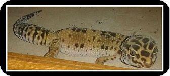 Gecko for adoption in Warwick, Rhode Island - Lucy
