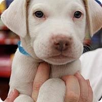 Adopt A Pet :: Manny - Washington, DC
