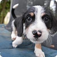Adopt A Pet :: Zeke - Mechanicsburg, PA
